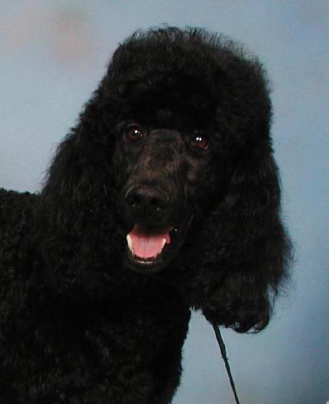 Indiana White Standard Poodle Breeder Central IN Black Standard
